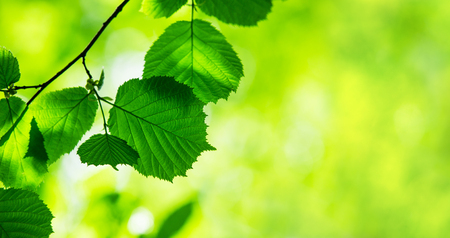 green leaves background in sunny day Stock Photo