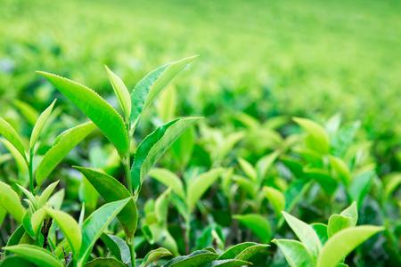 Tea leaf plantation . Nature background