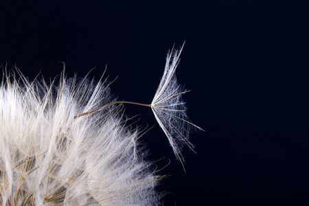 Dandelion seed in black .  Macro of nature. Stock Photo