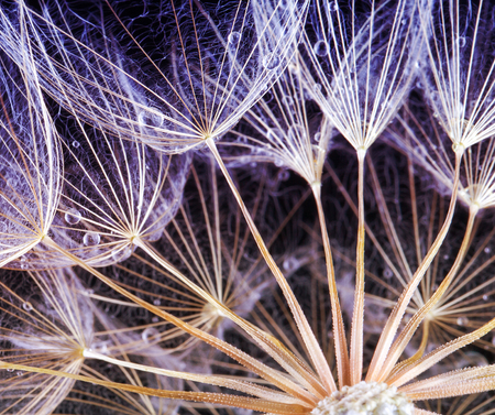 Dandelion Seeds in the drops of dew on a beautiful background.