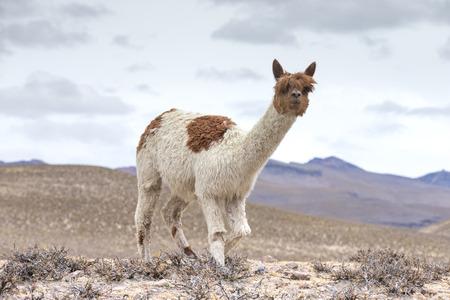 Llamas in Andes,Mountains, Peru