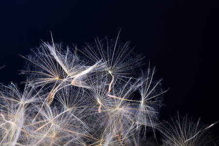 Dandelion seed  isolated on a black background