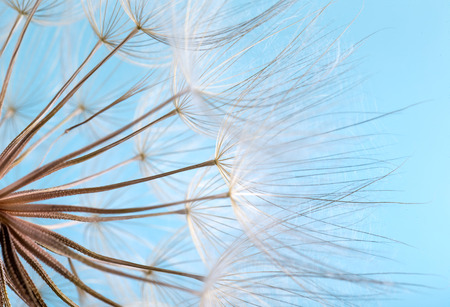 dandelion seeds close up blowing in blue background Stock Photo - 106359584