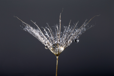 macro photo of dandelion seeds with water drops