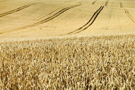 Wheat field.  Nature Sunset Landscape. Stock Photo