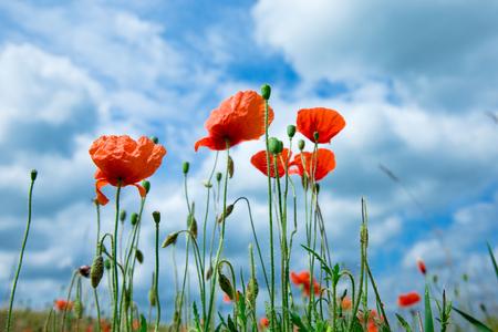 summer poppy flowers under blue sky and sunlight