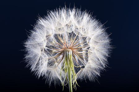 Dandelion seed isolated on a black