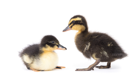 Cute little newborn fluffy duckling. One young duck isolated on a white background. Stock Photo
