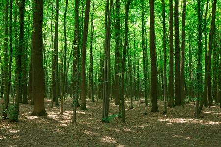 Alberi della foresta. Sfondi di natura verde e legno del sole Archivio Fotografico
