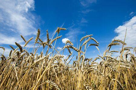 goldenes Weizenfeld und sonniger Tag