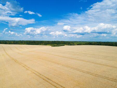 golden wheat field and sunny day Фото со стока