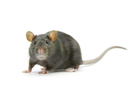 lustige Ratte isoliert auf weißem Hintergrund