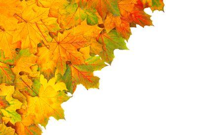 otoño hojas de arce aislado en un blanco