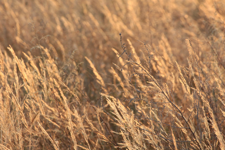 Dry field grass at sunset
