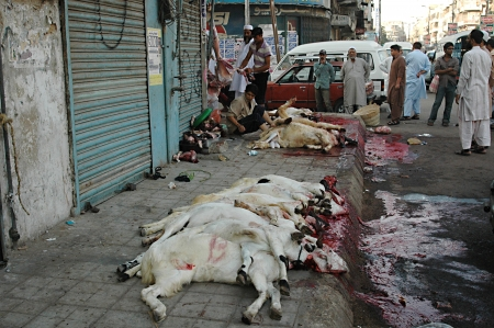 KARACHI/PAKISTAN_  Pakistanies celebrate Holy Eid, Eid-al-Adha with sacrificies Animals as old tradition from prophet Abrahim sacrifies his son Ismail to God, Pakistani celebrate Eid-al-Adha today and meat will distribute to among friends families and poo Stock Photo - 15944841