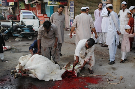 KARACHI/PAKISTAN_  Pakistanies celebrate Holy Eid, Eid-al-Adha with sacrificies Animals as old tradition from prophet Abrahim sacrifies his son Ismail to God, Pakistani celebrate Eid-al-Adha today and meat will distribute to among friends families and poo Stock Photo - 15944835