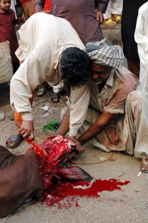 KARACHI/PAKISTAN_  Pakistanies celebrate Holy Eid, Eid-al-Adha with sacrificies Animals as old tradition from prophet Abrahim sacrifies his son Ismail to God, Pakistani celebrate Eid-al-Adha today and meat will distribute to among friends families and poo Stock Photo - 15944833