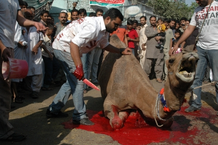 slaughtering: KARACHIPAKISTAN_ Pakistani slaughterin Camel animal on 2nd day Eid-al-Adha in Pakistanies celebrate Holy Eid, Eid-al-Adha with sacrificies Animals as old tradition from prophet Abrahim sacrifies his son Ismail to God, Pakistani celebrate Eid-al-Adha toda
