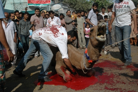 KARACHI/PAKISTAN_ Pakistani slaughterin Camel animal on 2nd day Eid-al-Adha in Pakistanies celebrate Holy Eid, Eid-al-Adha with sacrificies Animals as old tradition from prophet Abrahim sacrifies his son Ismail to God, Pakistani celebrate Eid-al-Adha toda Stock Photo - 15986184