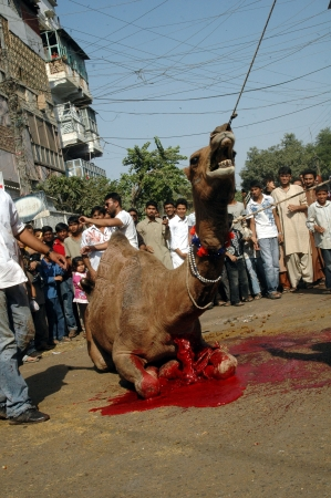 KARACHI/PAKISTAN_ Pakistani slaughterin Camel animal on 2nd day Eid-al-Adha in Pakistanies celebrate Holy Eid, Eid-al-Adha with sacrificies Animals as old tradition from prophet Abrahim sacrifies his son Ismail to God, Pakistani celebrate Eid-al-Adha toda Stock Photo - 15986188