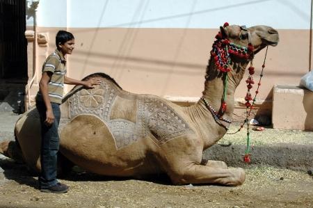 slaughtering: KARACHI  PAKISTAN_ pakistano animale Camel MACELLAZIONI il 2 � giorno di Eid-al-Adha in Pakistanies celebrare Santo Eid, Eid-al-Adha con gli animali sacrificies come tradizione dal profeta Abrahim sacrifica suo figlio Ismail a Dio, pakistana celebrare Eid-al-Adha toda Editoriali