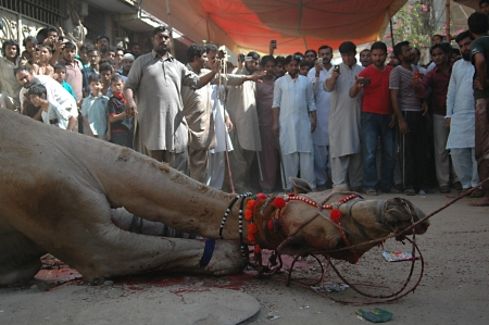 KARACHIPAKISTAN_   3rd.day camel slaughtering to sacrificies in religious riual  to celebrate Eid -al- Adha in  on monday Azam Basti 29 Oct. 2012    Editorial
