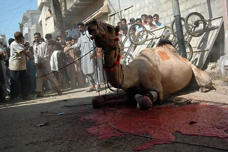 slaughtering: KARACHIPAKISTAN_   3rd.day camel slaughtering to sacrificies in religious riual  to celebrate Eid -al- Adha in  on monday Azam Basti 29 Oct. 2012