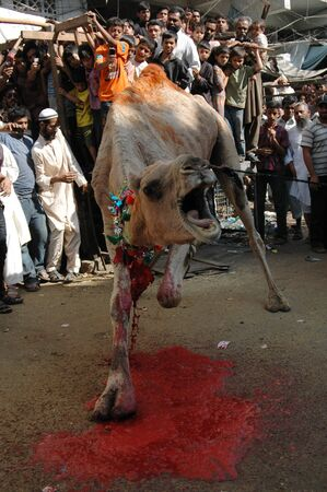 KARACHIPAKISTAN_   4rd.day camel slaughtering to sacrificies in religious riual  to celebrate Eid -al- Adha in  on tuesday  Bonus Road 30 Oct. 2012       Editorial