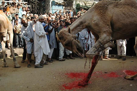 slaughtering: KARACHIPAKISTAN_   4rd.day camel slaughtering to sacrificies in religious riual  to celebrate Eid -al- Adha in  on tuesday  Bonus Road 30 Oct. 2012     Editorial