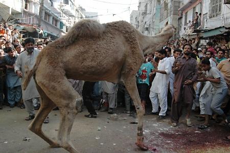 slaughtering: KARACHI  PAKISTAN_ 4rd.day cammello macellazioni per sacrificies in riual religioso a celebrare l'Eid-al-Adha in su Bonus Marted? strada 30 ottobre 2012