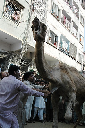 slaughtering: KARACHIPAKISTAN_   4rd.day camel slaughtering to sacrificies in religious riual  to celebrate Eid -al- Adha in  on tuesday  Bonus Road 30 Oct. 2012
