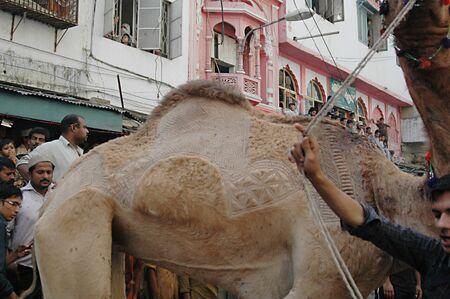 slaughtering: KARACHI  PAKISTAN_ 4rd.day cammello macellazioni per sacrificies in riual religioso a celebrare l'Eid-al-Adha in su Bonus Marted� strada 30 ottobre 2012