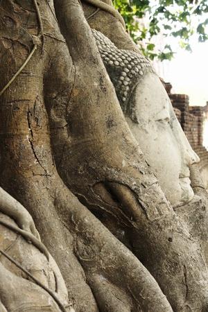 sanctified: Head of Sandstone Buddha overgrown by Banyan Tree, Ayutthaya historical park, Thailand Stock Photo