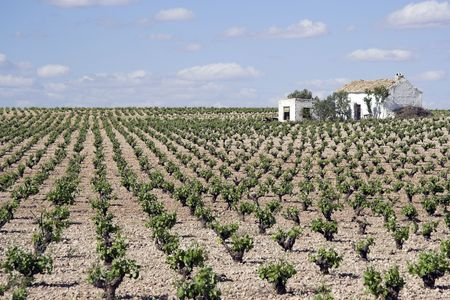 Vineyards in the province of Ciudad real in Spain