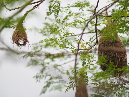 Bird Nest ,Weaver on the tree
