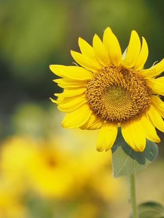 sunflower yellow flower on blur nature background