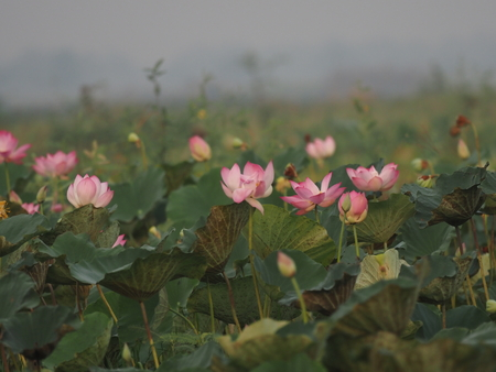 Nelumbo Sacred Lotus Pink flower in the pond Bung boraphet