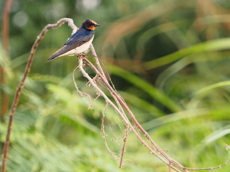 Red rumped Swallow Birds on the branches