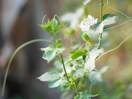 Passiflora foetida Fetid passionflower name fruit nature background Banque d'images