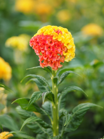 red and yellow Cockscomb flowers Name of Celosia cristata The flowers are small in size but will stick together into the same bouquet