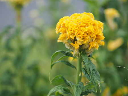 yellow color Cockscomb flowers Name of Celosia cristata The flowers are small in size but will stick together into the same bouquet 스톡 콘텐츠