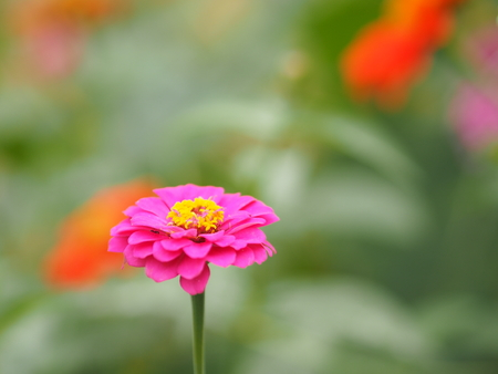 pink Gerbera Daisy flower on blurred of nature background