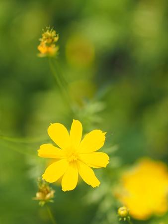 Yellow Flower,  African Marigold, Mexican Aster, Klondyke Type Bright Light Sulphureus beautiful blurred of nature background Banco de Imagens