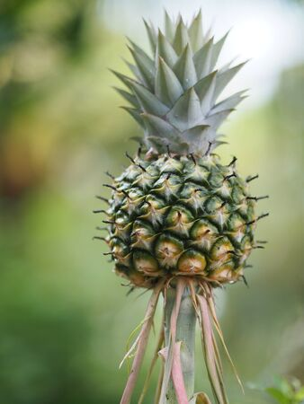 pineapple fruit on blurred of nature background