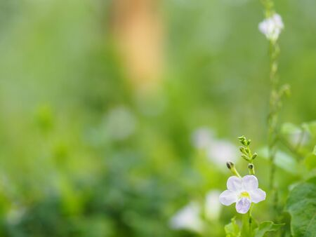 White and purple small flower on blurred of nature background 版權商用圖片