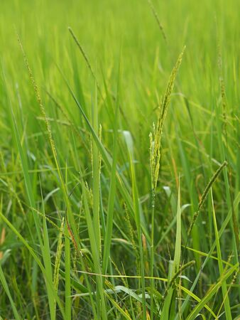green paddy rice in the field plant, Jasmine rice on blurred of nature background