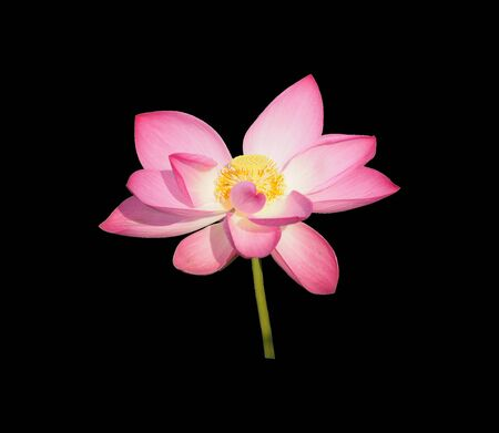 Cut outline waterlily lotus pink flower isolated on black background