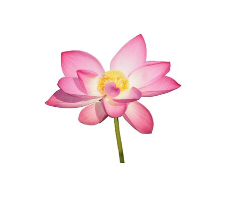 Cut outline waterlily lotus pink flower isolated on white background