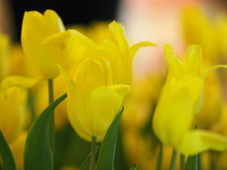 Yellow tulip flower blooming beautiful in nature blurred of background