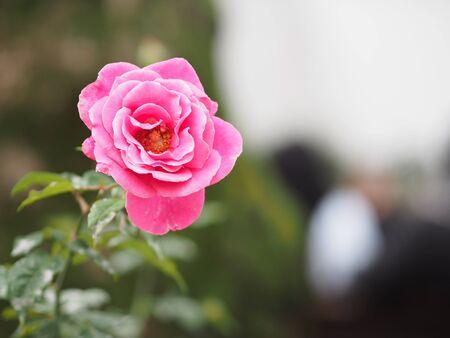 Rose Flower Pink color arrangement Beautiful bouquet on blurred of nature background symbol love Valentine's Day 版權商用圖片